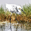 Hybrid Snowy Egret and Tricolored Heron