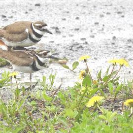 Killdeer by Jaliya Rasaputra - Animals Birds