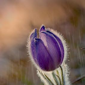 Tears in the Rain by Jiri Cetkovsky - Flowers Flowers in the Wild ( geandis, pulsatilla, spring, rain, flower )