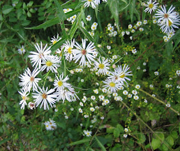 Photo: Panicled and Calico Asters, 9.13
