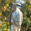 Indian crested hawk-eagle, changeable hawk-eagle, marsh hawk-eagle (juv)