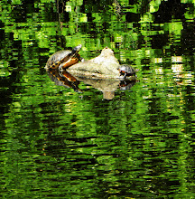 Photo: We saw a ton of turtles along the Dismal Swamp