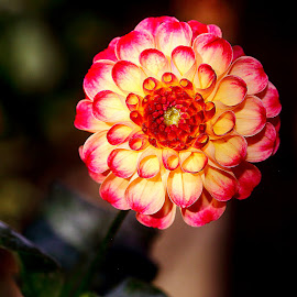 Dalhia n000119 by Gérard CHATENET - Flowers Single Flower