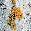 Bark Sulphur-firedot Lichen
