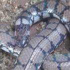 Sri Lankan Pipe Snake