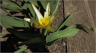 Photo: Lalele (Tulipa)  - Turda, de pe Str. Salinelor, Nr. 2 - 2019.03.23