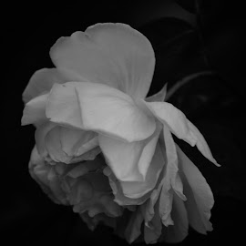 Black and white rose by Rhonda Kay - Black & White Flowers & Plants