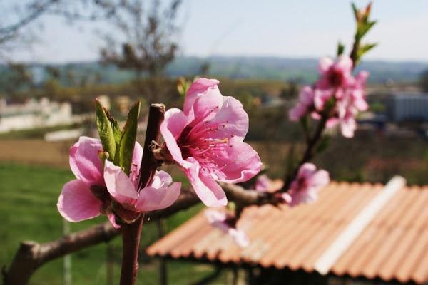 Fiori rosa, fiori di pesco... di NeJi