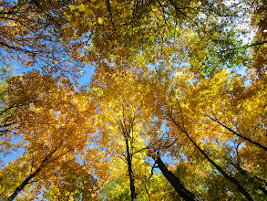 Photo: Looking up at amazing yellow trees at Hills and Dales Park in Dayton, Ohio.