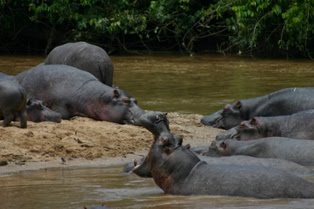 Ishasha River, hippos of Queen Elizabeth National Park