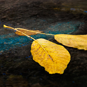 yellow in fall by Niloofar Rezaee - Nature Up Close Leaves & Grasses ( fall leaves on ground, fall leaves )