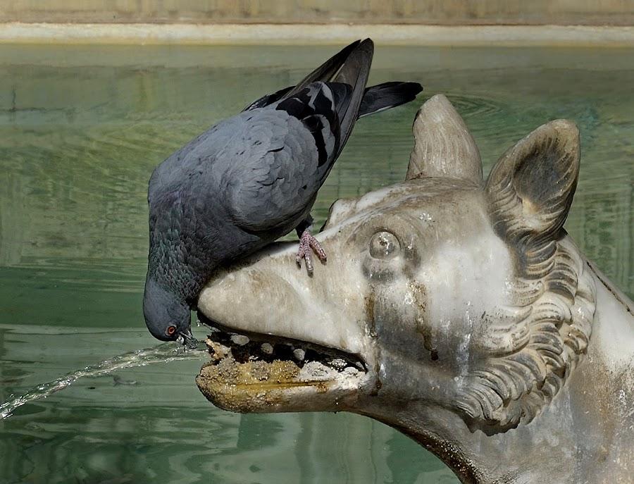 Pigeon by Christian Wakolbinger - Animals Birds