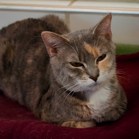 by Vicki Switala Riley - Animals - Cats Portraits ( tan, orange, stray, gray, resting, humane society, cat, abandoned, brown, rescue, housecat,  )