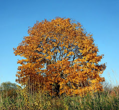Photo: Lone Fall Color Leaves on Tree against clear blue sky