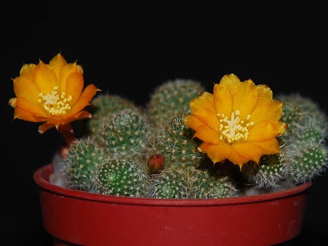 Floraison de cactus non identifié. CSC_0854