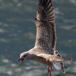 Young Seagull by Jørgen Schei - Animals Birds ( seagull, nature, bird, animal, young bird, screaming )