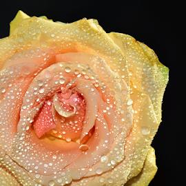veri nice water drops rose by LADOCKi Elvira - Flowers Single Flower ( nature, plants, garden, rose, flower )