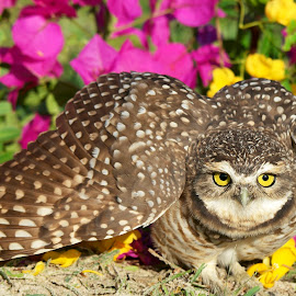 Burrowing owl! by Itamar Campos - Animals Birds