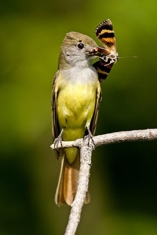 Greater Crested Flycatcher by David Northcott - Animals Birds ( bird, aves, flycatcher, feeding, animal )