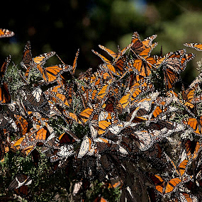 Brilliant Wings by Manuel Balesteri - Nature Up Close Trees & Bushes ( orange, butterfly, fly, wings, pwcmovinganimals, stripes, insect, black, animal, butterfy )
