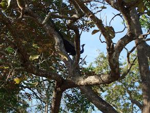Photo: A peacock calls