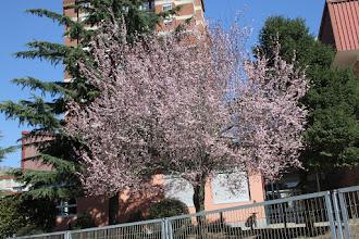 Photo: Prunus - Abruñeiro de Xardín  // Cerdeira Xaponesa  CEP CAMPOLONGO