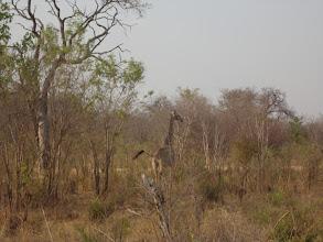 Photo: Super swinging giraffe tail