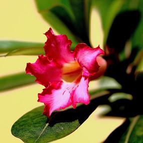 by Sudipta Ghosh - Flowers Single Flower