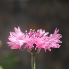 Pink Flower by Pramesh Pokharel - Nature Up Close Flowers - 2011-2013