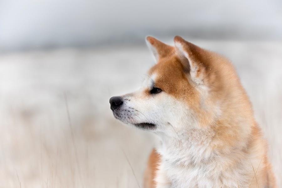Namka by Magdalena Sikora - Animals - Dogs Portraits ( akita portait, akita inu, red akita inu )