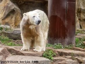 Photo: Eisbaerchen Knut schaut neugierig in die Welt :-)