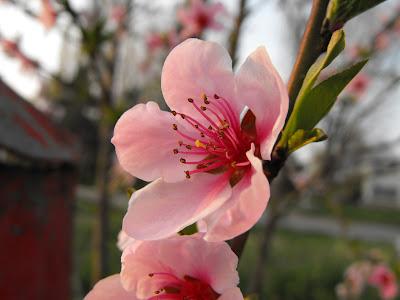 primavara. floare de piersic. un copac cu flori