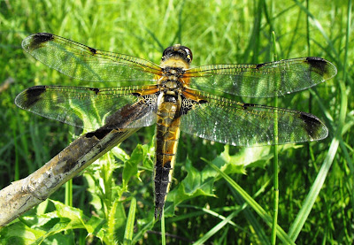 insecte din delta: libelula maro