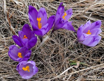 flori de munte: branduse de primavara
