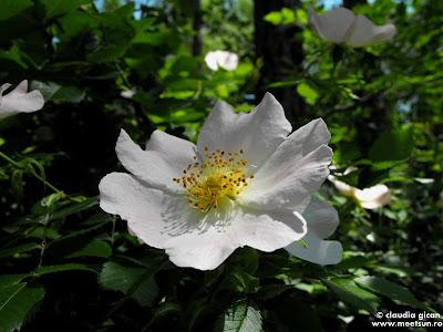 flori de mai - maces inflorit