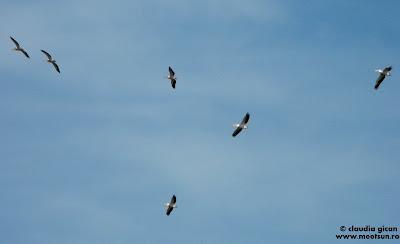 pelicani in zbor