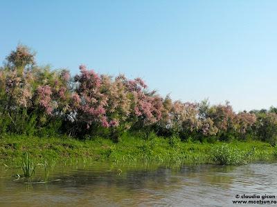 arbusti roz