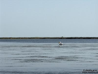 pelicanul singuratic de pe Lacul Merhei