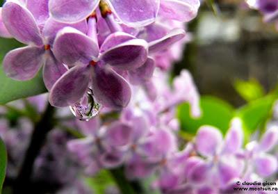 flori de mai: liliac mov
