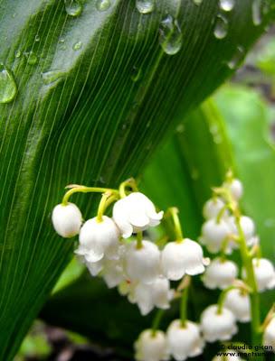 flori albe de primavara: margaritar sau lacramioare