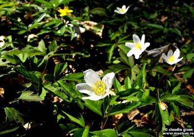 flori de păștiță sau Floarea Paștelui (anemone nemorosa) alba si galbena