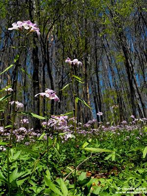 flori violet de primavara la munte