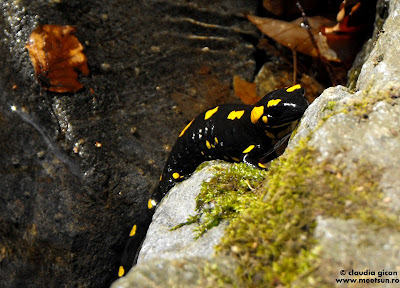 salamandra - soparla de apa