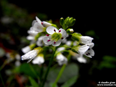 flori albe de munte si primavara, Mierluţă (minuartia verna)