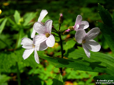 flori mov de munte, primavara