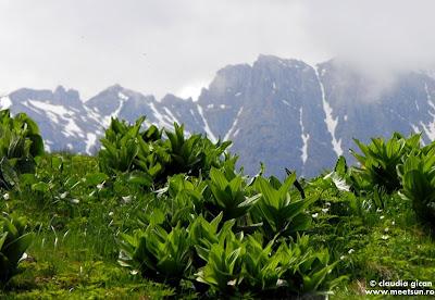 inca neinflorite, plantele de stirigoaie (Veratrum album)