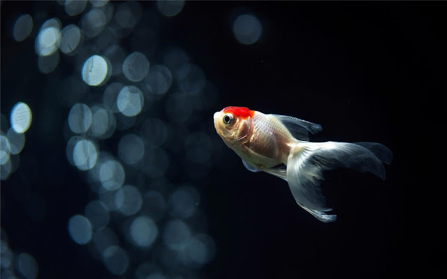 goldfish Themes & New Tab
