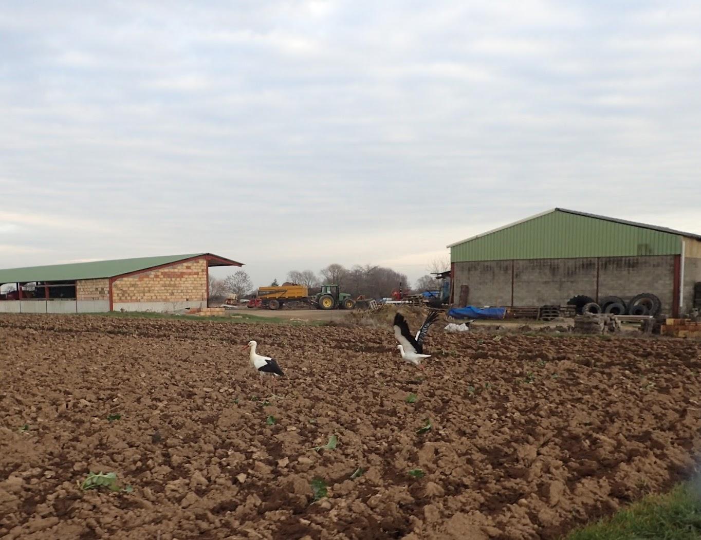 Les cigognes vont se tordre les chevilles dans ces mottes de terre labourée