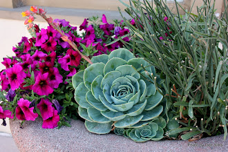 Photo: (Year 3) Day 27 - Lovely Succulent in Capitola