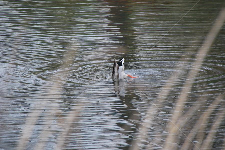 Anti-DuckFace Protest by Azzah Rahman - Animals Amphibians ( netherland, duckface, zaanse schans, duck, amsterdam, pond )